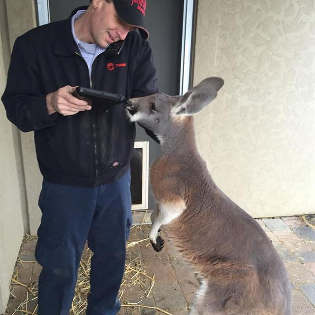 Our senior service tech playing with a kangaroo while working on his iPad and talking on the phone (he's a talented guy!)